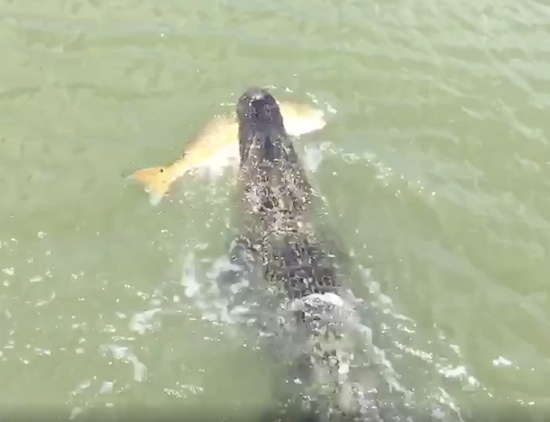 Little Kid Gets Robbed of Fish By Alligator
