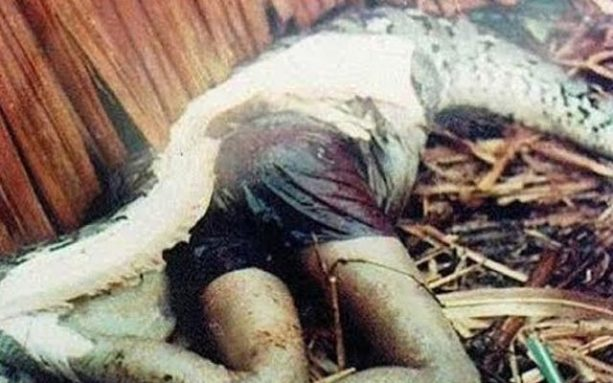 Graphic — Python Swallows Man — Dead Body Cut From Beast's Belly