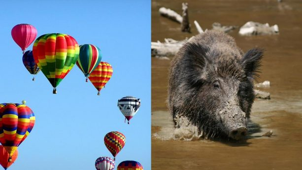 Texas Approves Feral hog Hunting by Hot Air Balloon