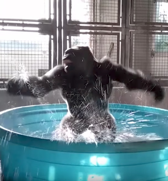 Breakdancing Gorilla Enjoys Pool Behind-the-Scenes