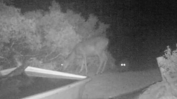 Watch a Cougar Take Down a Deer in Rare Video