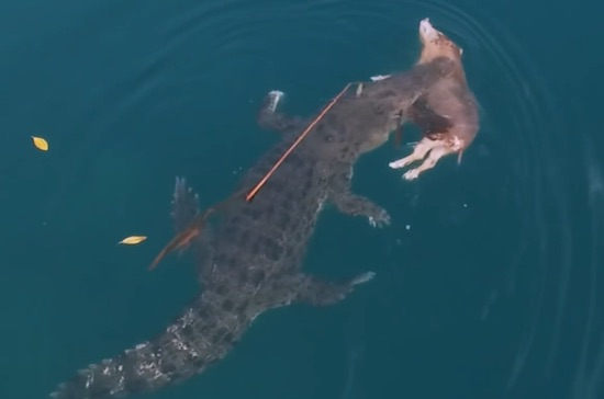 HUGE Crocodile Caught On Camera Swimming With Pig In It's Mouth