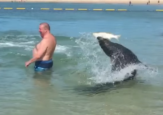 Seals Hunt for Fish on Shallow Beach