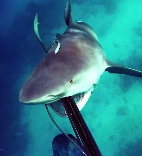 Shark Attack - Bullshark Attacks Spearfisherman ⋆ Terez
