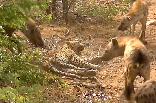 Video- Old Leopard is Bullied by Hyenas ⋆ Terez Owens : #1