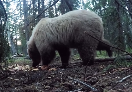Video- Spearing a Massive Bear