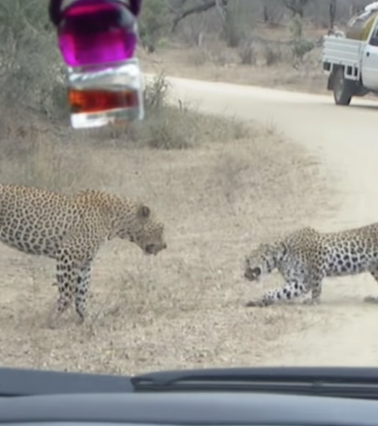 Video- Leopard Death Battle in the Road