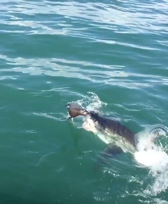 Video- Seal Barely Escapes Great White