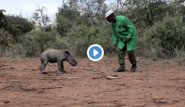 Baby Rhino Learning To Charge Is Worth A Watch