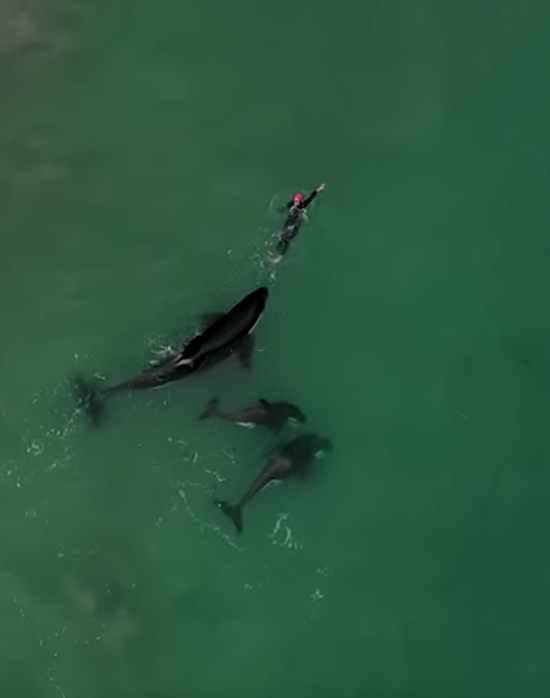 Orcas playing with swimmer at Hahei Beach, New Zealand